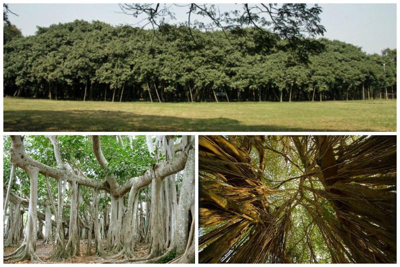 Великий баньян – дерево с самой большой в мире площадью кроны. Крона дерева имеет длину окружности около 350 метров, наибольшая высота достигает 25 метров. Площадь дерева составляет примерно 1,5 га. деревья, невероятное, природа, удивительное, флора