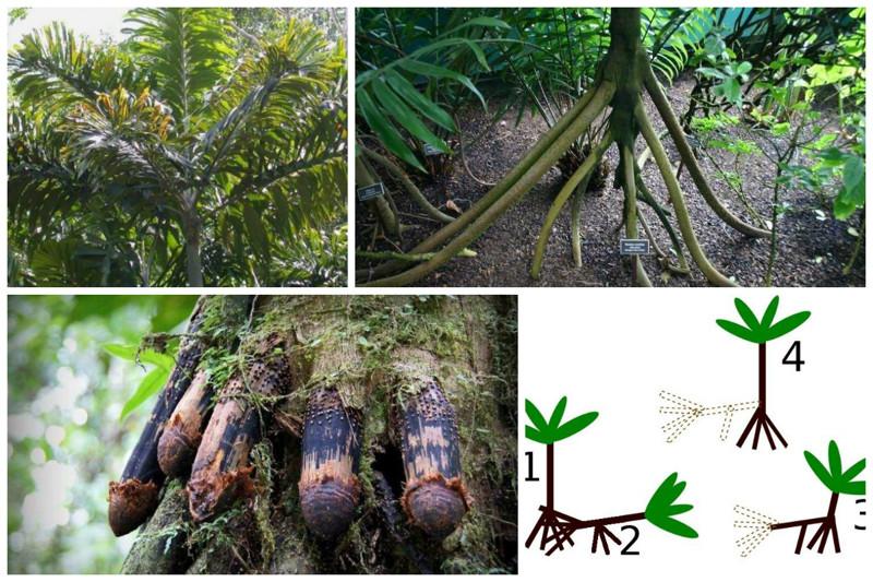 Socratea exorrhiza - ходячие эквадорские пальмы. Когда заканчиваются питательные вещества, пальма выпускает отростки корни, после укоренения которых старые корни отмирают деревья, невероятное, природа, удивительное, флора