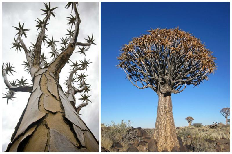 Колчанное дерево (алоэ), Намибия  деревья, невероятное, природа, удивительное, флора