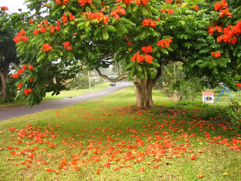 Спатодея колокольчатая  (тюльпановое дерево) деревья, невероятное, природа, удивительное, флора