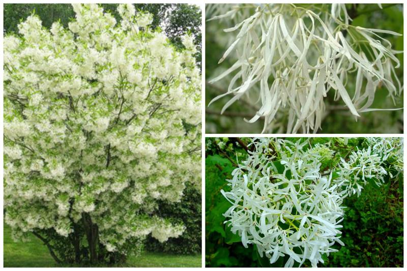 Снежноцвет виргинский, или Хионантус виргинский (Chionanthus virginicus) - просто красиво деревья, невероятное, природа, удивительное, флора
