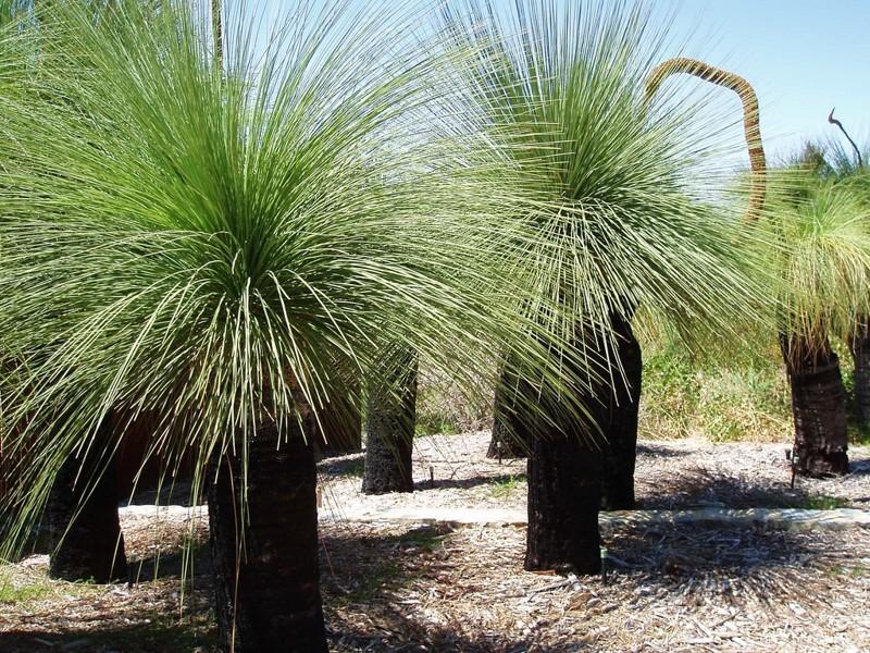 Ксанторрея (дерево-трава) деревья, невероятное, природа, удивительное, флора