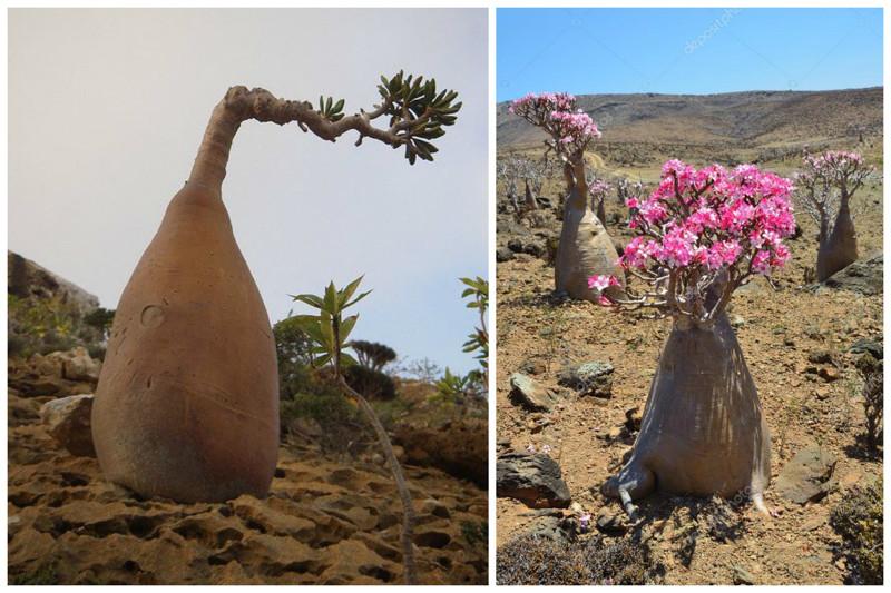 Роза пустыни - бутылочное дерево деревья, невероятное, природа, удивительное, флора