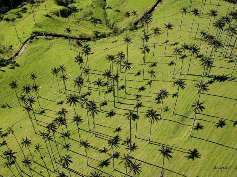 Самая высокая пальма мира Ceroxylon quindiuense (Киндиойская восковая пальма, вырастают до 50-ти метров) деревья, невероятное, природа, удивительное, флора