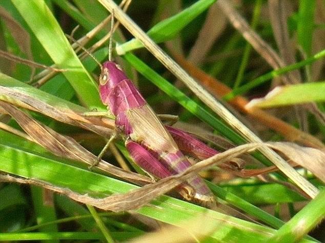 Обычные кузнечики зеленого или коричневого цвета легко сливаются с окружающей средой, что помогает им прятаться от хищников генетическая мутация, кузнечик, мутация, насекомое, пигмент, природные аномалии, розовый кузнечик, розовый цвет