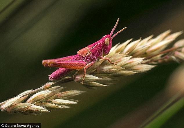 А этот розовый кузнечик был замечен в прошлом августе в Линкольншире генетическая мутация, кузнечик, мутация, насекомое, пигмент, природные аномалии, розовый кузнечик, розовый цвет