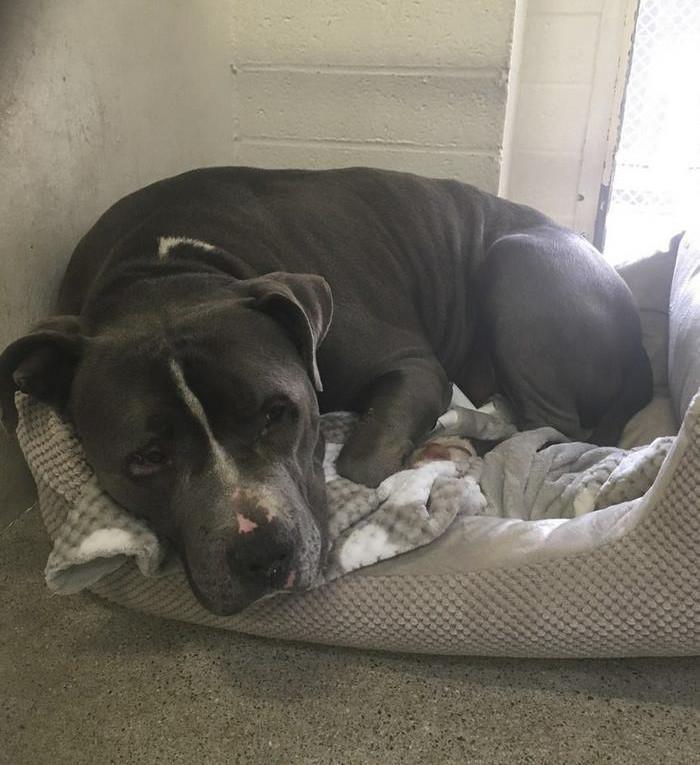 Питбули тоже плачут: оставленный хозяевами питбуль заплакал в клетке приюта животные, пес, питбуль, питомцы, собака, спасение, трогательно, фото