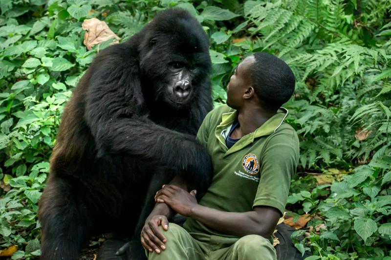 Сексуальное поведение горил