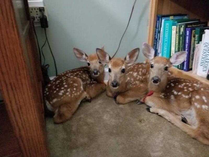 Три оленёнка забежали к женщине в гостиную перед грозой в мире животных, гроза, животные, мило, неожиданно, олени, погода, фото