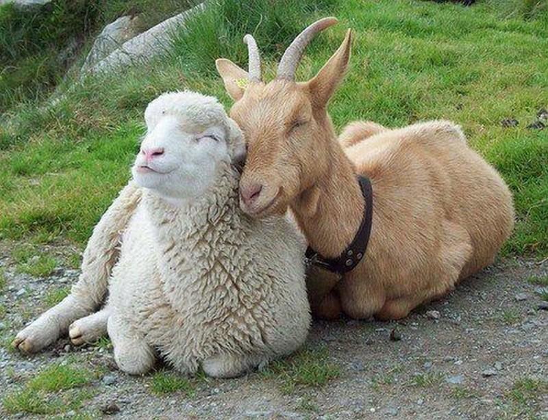 """В некоторых странах Среднего Востока признают следующий закон: """"После ceксуaльных отношений с овцой, смертельным грехом является поедание ее плоти"""". законы, интересное, секс, смешное"""