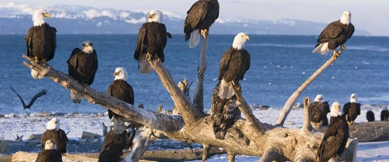 Вот как выглядит жизнь в одном из городков Аляски, который просто кишит белоголовыми орланами аляска, белоголовый орлан, в мире, птицы, стая