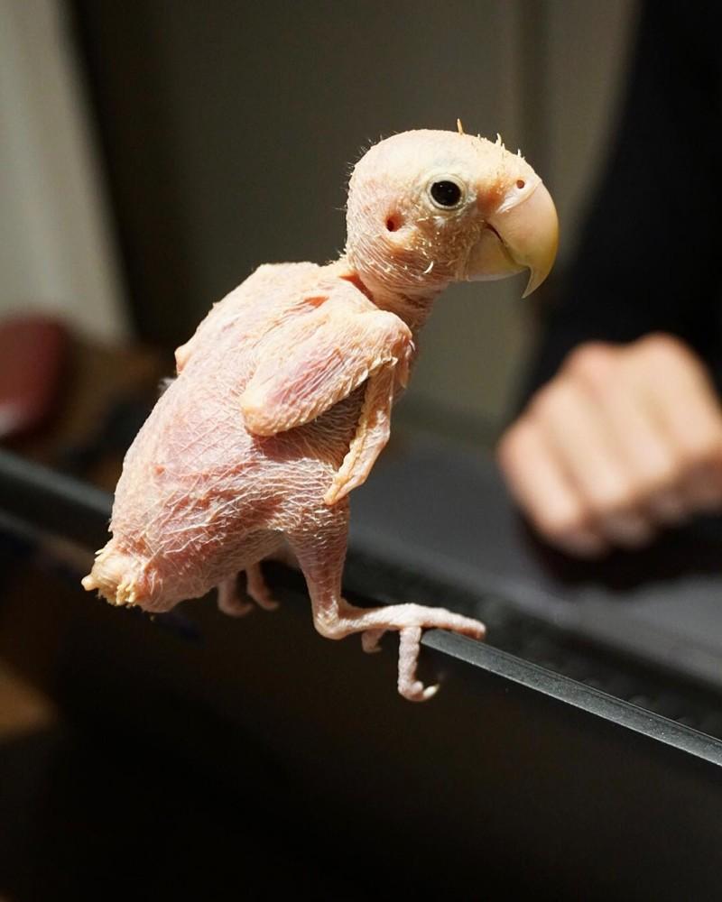 Попугайчики, потерявшие перья, обрели любовь и счастье добро, животные, милота, перья, попугайчики, птицы