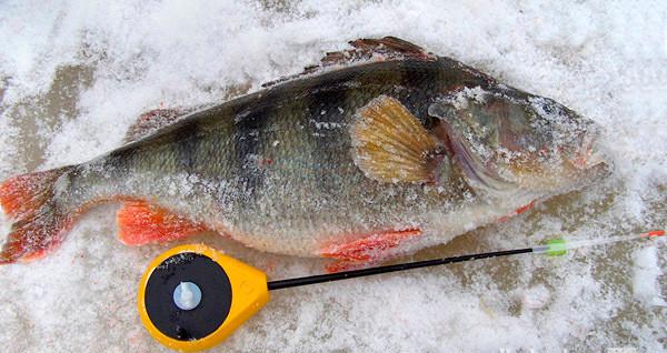 Зимняя ловля крупного окуня на мормышку