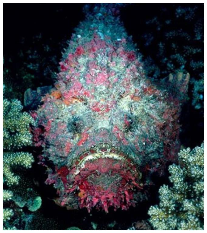 Рыба-камень красиво, монстры, океан, опасные, рыбы, фото