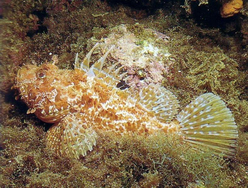 Скорпена (Scorpion fish), в простонародье ёрш красиво, монстры, океан, опасные, рыбы, фото