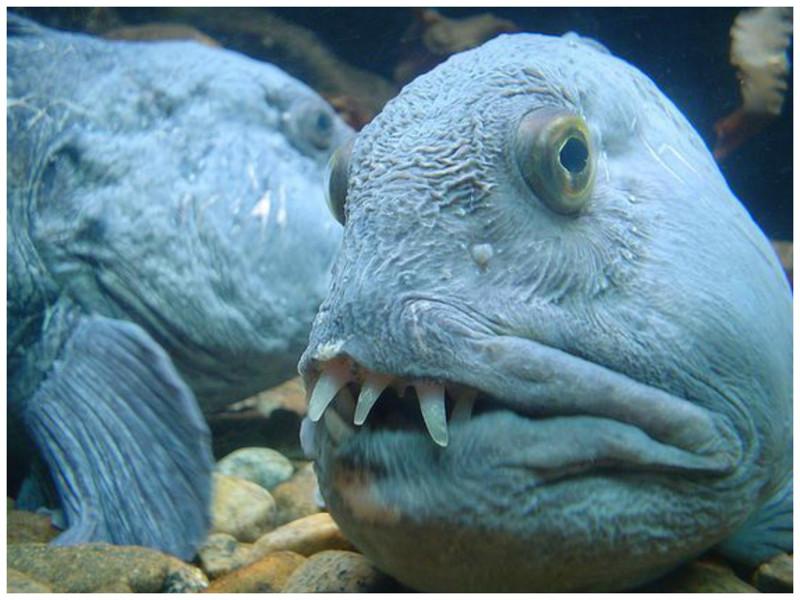 Рыба-волк (зубатка) красиво, монстры, океан, опасные, рыбы, фото