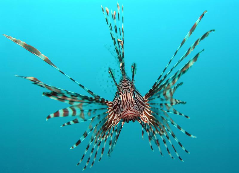 Крылатка красиво, монстры, океан, опасные, рыбы, фото