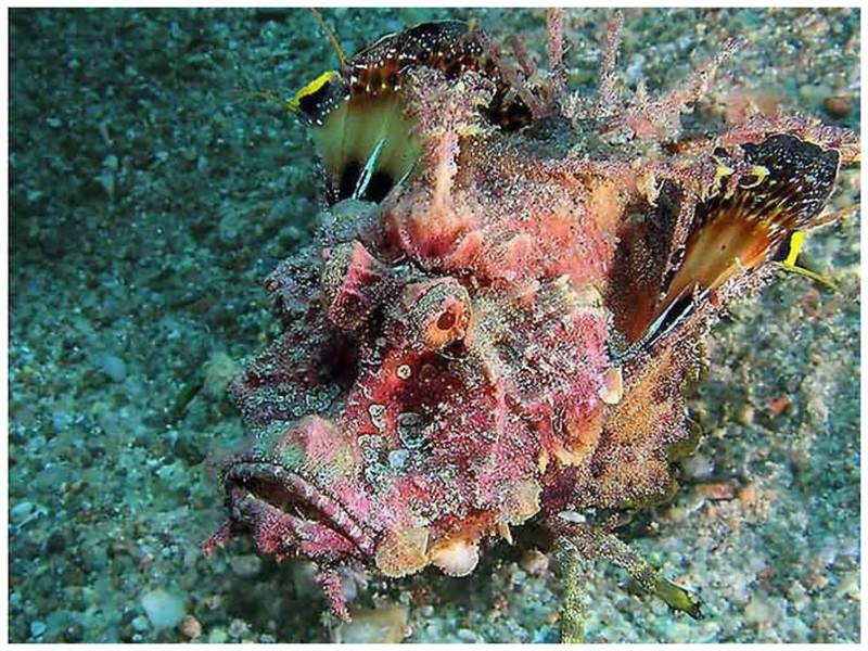 Рыба-дьявол красиво, монстры, океан, опасные, рыбы, фото