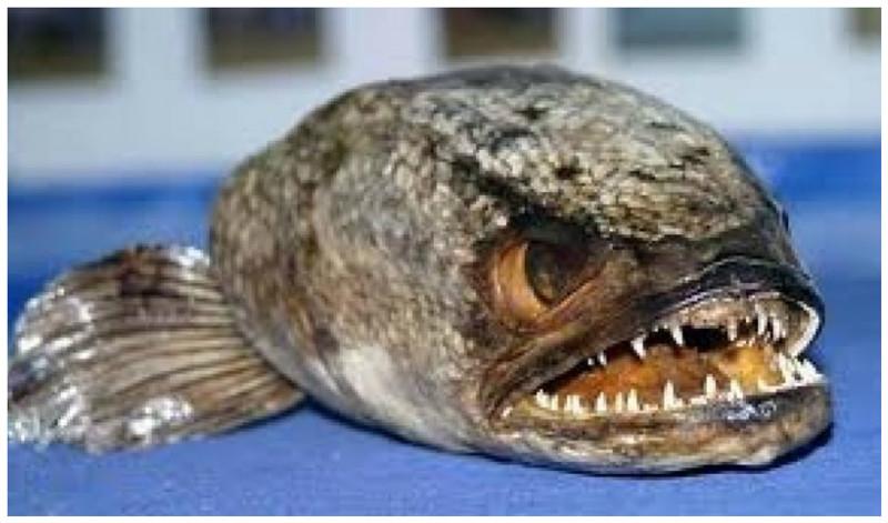 Рыба-змея, или рыба из ада красиво, монстры, океан, опасные, рыбы, фото