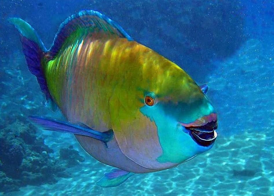 Рыба-попугай красиво, монстры, океан, опасные, рыбы, фото