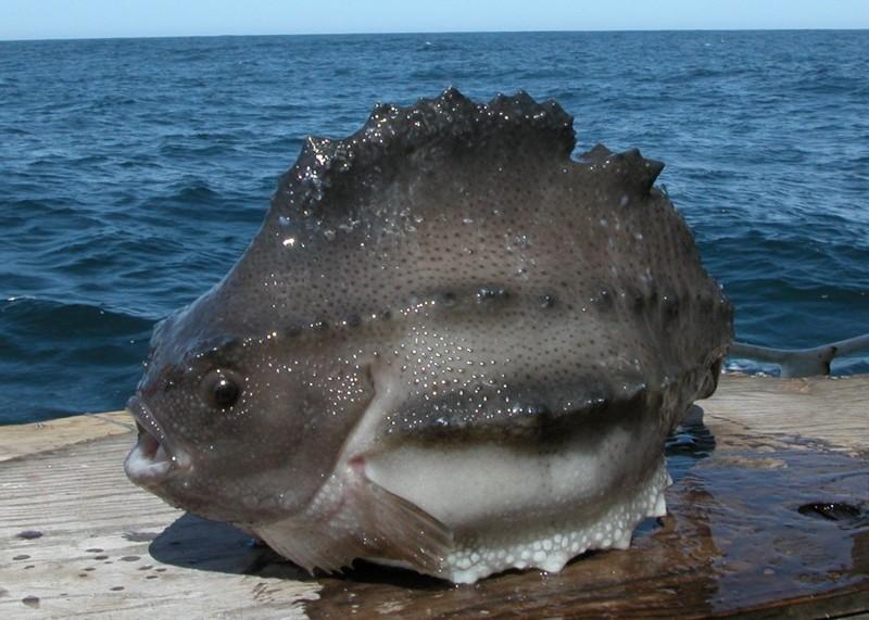 Рыба-воробей (пинагор) красиво, монстры, океан, опасные, рыбы, фото