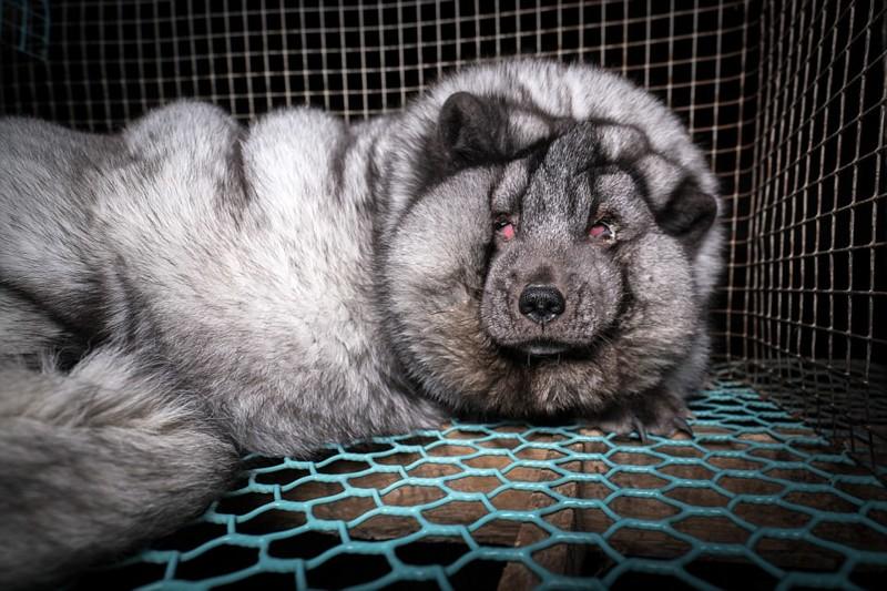 Вот как в Финляндии выращивают «песцов-монстров»: зоозащитники потрясены животные, зоозащитники, кошмар, лисица, песцы, финляндия