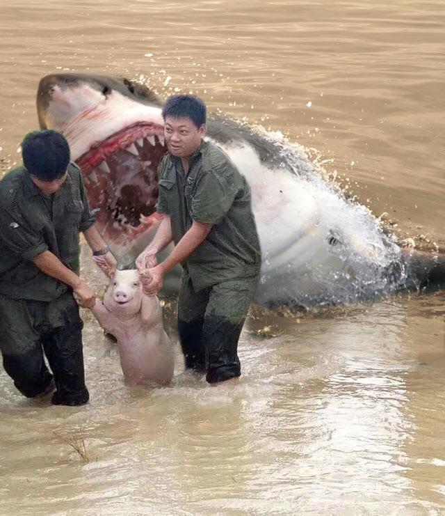 Счастливая свинья, спасенная от наводнения стала новой звездой битвы фотошоперов забавно, наводнение, прикол, свинья, улыбка, фотожаба, фотошоп, юмор