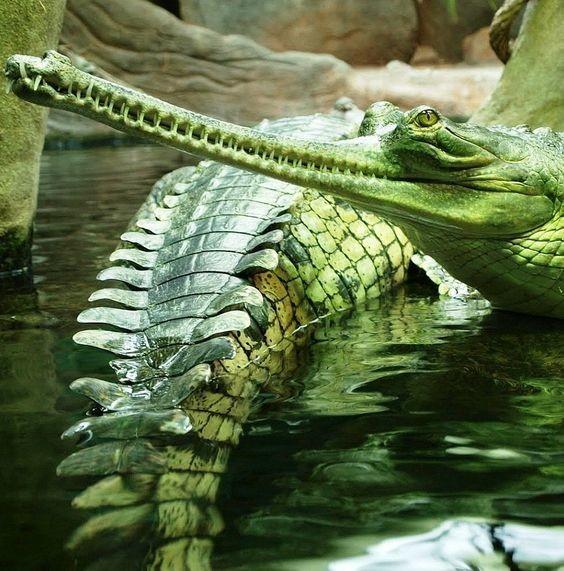 На фото гавиаловый крокодил аллигатор, интересное, крокодил, природа, факты, фауна