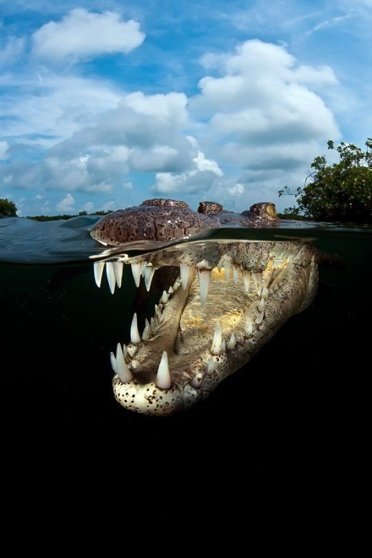 Хотя у крокодилов есть язык, высовывать они его не могут, поскольку он полностью присоединен к нижней челюсти. аллигатор, интересное, крокодил, природа, факты, фауна