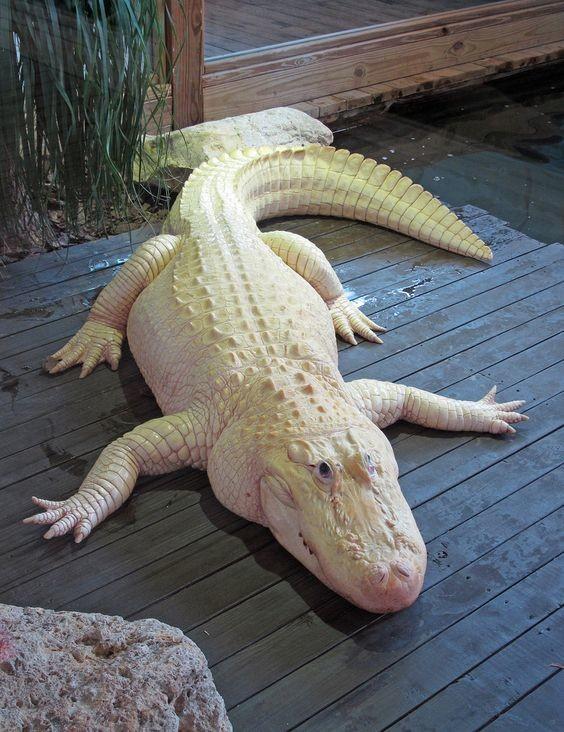 Благодаря своим рецепторам, которые расположены по всей длине тела, крокодил улавливает даже самый малейший всплеск воды. аллигатор, интересное, крокодил, природа, факты, фауна
