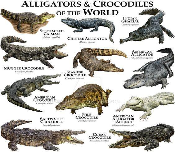 Самый большой крокодил - морской крокодил (Crocodylus porosus), который водится в Индии, северной Австрали и островах Фиджи. Длина его может достигать 7 метров, а вес - 1 тонны! Пятиметровые особи весят как минимум полтонны. аллигатор, интересное, крокодил, природа, факты, фауна