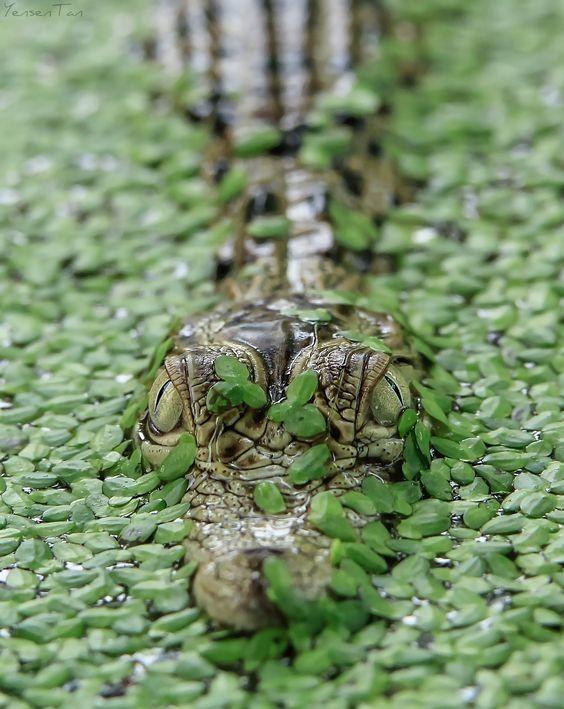 интересен тот факт, что мускус, который вырабатывают особые железы у крокодилов, широко используется в парфюмерной промышленности. аллигатор, интересное, крокодил, природа, факты, фауна