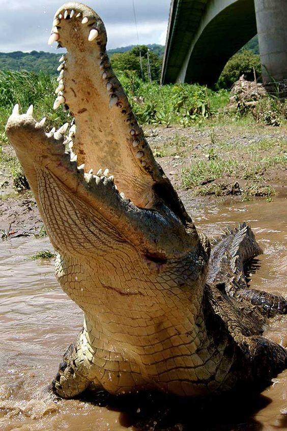 У них может вырастать один и тот же зуб до сотни раз. аллигатор, интересное, крокодил, природа, факты, фауна