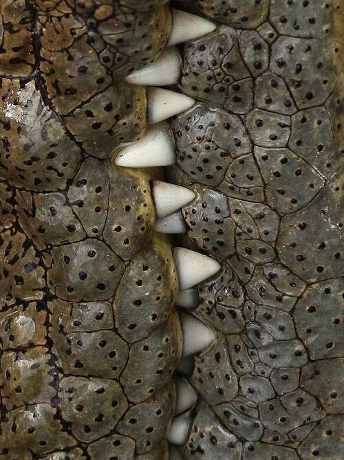 Челюсть крокодила содержит 24 острых зуба, способных держать и перекусывать добычу, но не жевать. аллигатор, интересное, крокодил, природа, факты, фауна