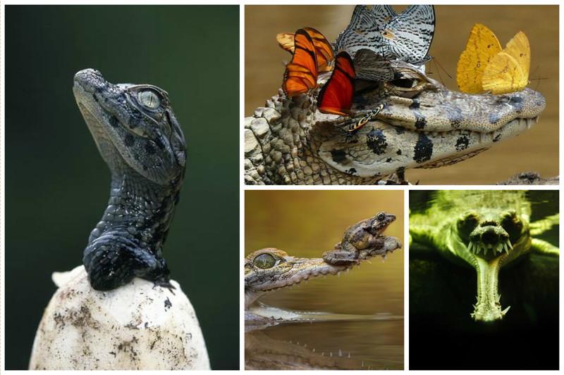 Крокодил солнце в небе проглотил аллигатор, интересное, крокодил, природа, факты, фауна