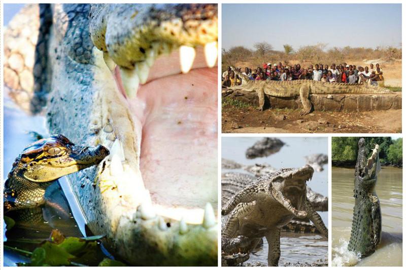 Скорость плавания крокодилов составляет 40 километров в час. Бегают они и того меньше – до 11 километров в час на короткие дистанции. А вот внушительные размеры крокодилов не мешают им выпрыгивать из воды на два метра. аллигатор, интересное, крокодил, природа, факты, фауна