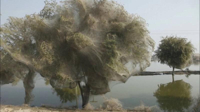 13. Деревья-коконы в Пакистане без фотошопа, вот это да!, интересные фотографии, необычные, реальность, фотошоп