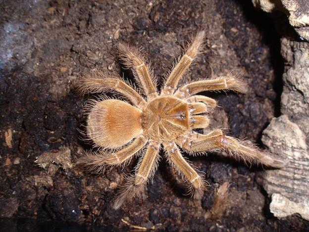 8. Обычно они безобидны насекомые, паук, пауки, птицеед-голиаф, самый большой, самый большой в мире