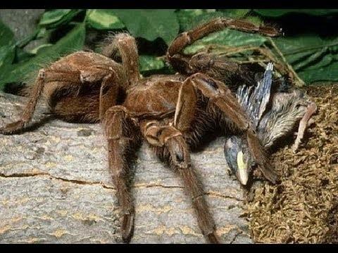 9. Они питаются червями насекомые, паук, пауки, птицеед-голиаф, самый большой, самый большой в мире