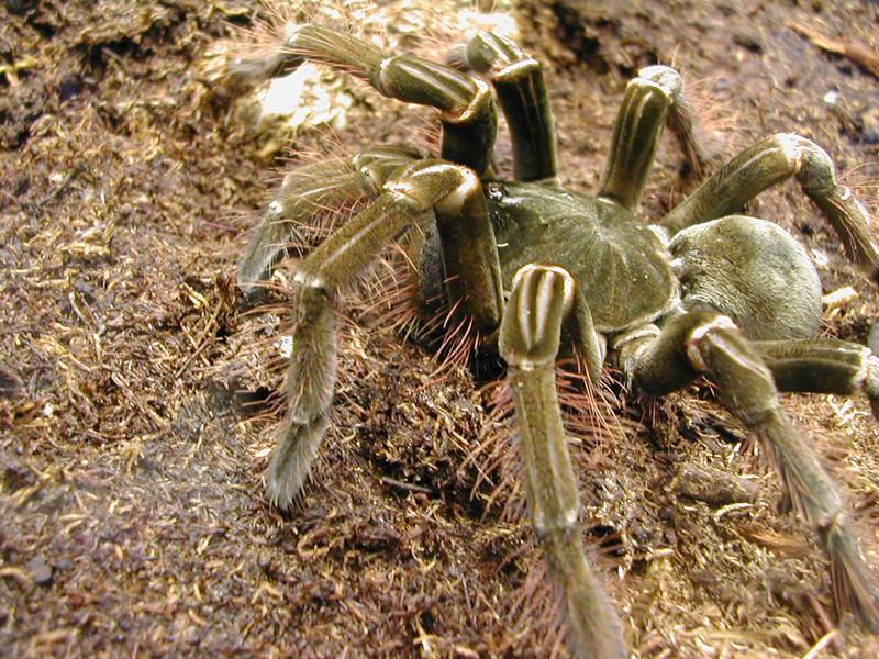 4. Самцы обычно умирают после спаривания насекомые, паук, пауки, птицеед-голиаф, самый большой, самый большой в мире