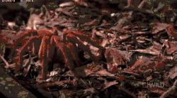 насекомые, паук, пауки, птицеед-голиаф, самый большой, самый большой в мире