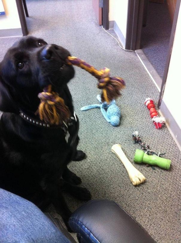 """""""Это был последний день на работе. Кажется, наша офисная собака хочет, чтобы я остался — она принесла мне все свои игрушки"""" вещи. милота, домашний питомец, животные, кошка, подарки, собака"""