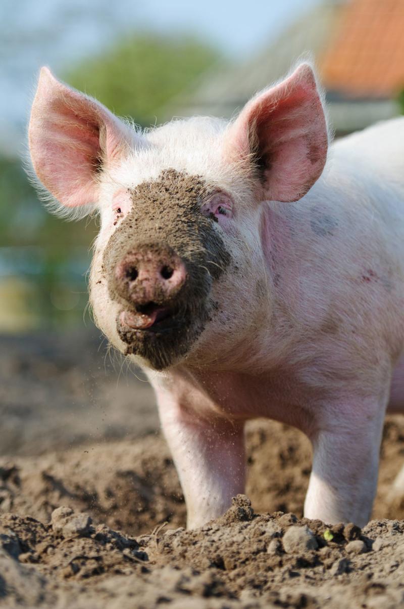 Смешные, свинья в картинках