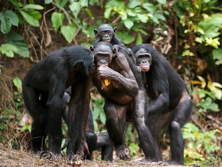 bonobos and chimps Separated by the river, bonobos live on the left bank while chimps and gorillas live on the right bank this river barrier allow bonobos to remain at the top of their food chain and not have to wage wars with other primates over territory.