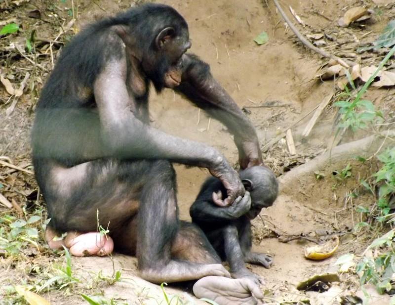 Секс у бонобо смотреть онлайн