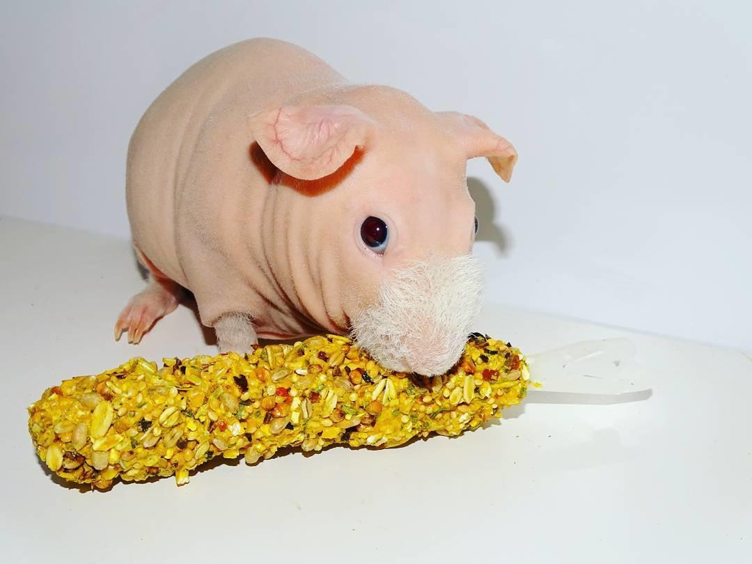 картинка морская свинка скинни того, отдельной категории