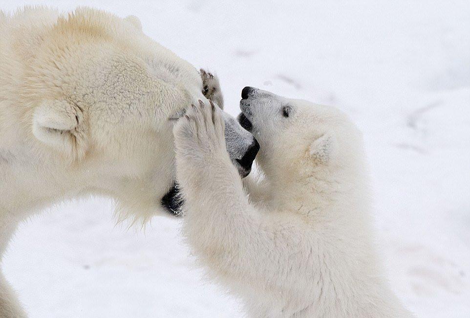 поспособствовали фото белого медведицы с медвежатами того чтобы машина