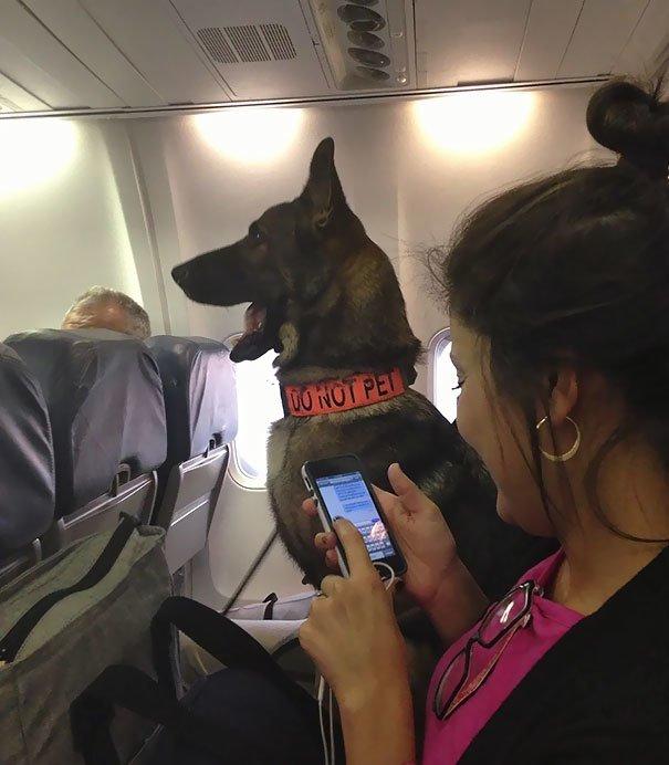 13. Служебная собака борт, животные, пассажир, перелет, полет, самолет, фото