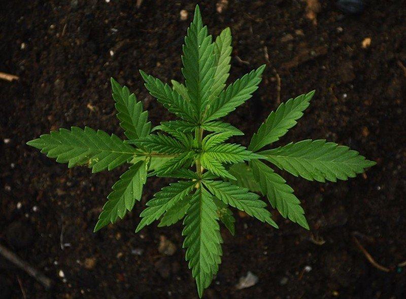 Что вредней табак или конопля купила тест на выявление марихуаны