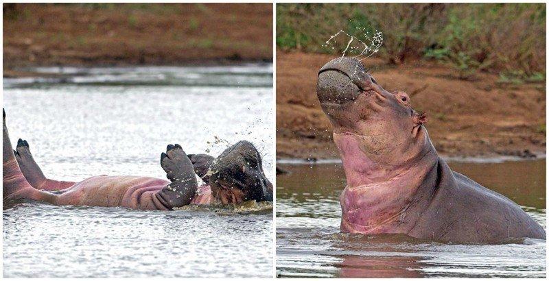Этот бегемот знает, что он восхитителен! Синхронное плавание по-бегемотьи бегемот, гиппопотам, дикая природа, животные, забавно, природа, редкие кадры, фото